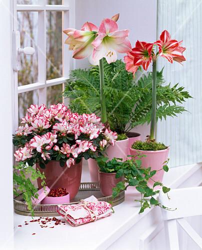 rhododendron simsii zimmerazalee hippeastrum amaryllis. Black Bedroom Furniture Sets. Home Design Ideas