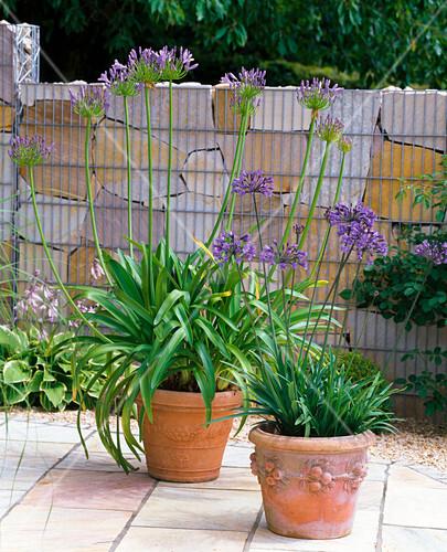 agapanthus afrikanische schmucklilien in terracotta. Black Bedroom Furniture Sets. Home Design Ideas