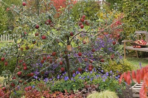 malus rewena apfelbaum unterpflanzt mit geranium jolly bee bild kaufen living4media. Black Bedroom Furniture Sets. Home Design Ideas