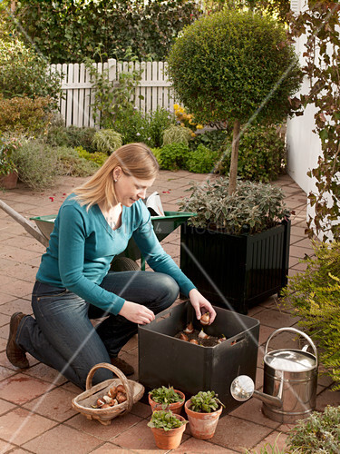 k bel im herbst mit tulpen bepflanzen 1 5 bild kaufen living4media. Black Bedroom Furniture Sets. Home Design Ideas