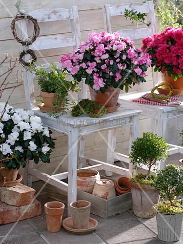 rhododendron simsii zimmerazaleen myrtus communis myrte bild kaufen living4media. Black Bedroom Furniture Sets. Home Design Ideas
