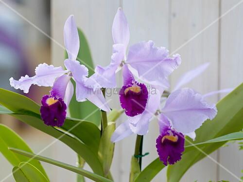 cattleya trianae orchidee bild kaufen living4media. Black Bedroom Furniture Sets. Home Design Ideas