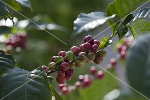 coffea arabica kaffee pflanze mit fr chten bild kaufen. Black Bedroom Furniture Sets. Home Design Ideas