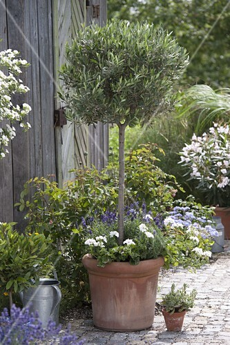 olivenbaum in form schneiden 3 3 bild kaufen living4media. Black Bedroom Furniture Sets. Home Design Ideas