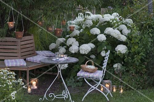 hydrangea arborescens annabelle strauch hortensie heuchera bild kaufen living4media. Black Bedroom Furniture Sets. Home Design Ideas