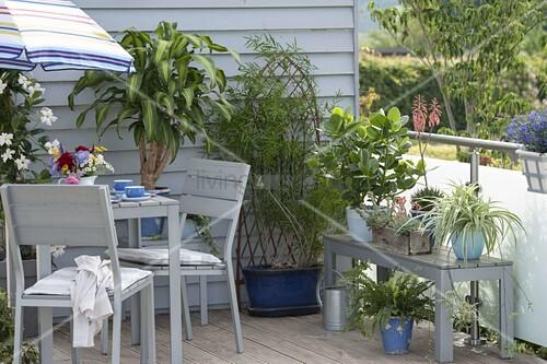 zimmerpflanzen im sommer auf dem balkon drachaena. Black Bedroom Furniture Sets. Home Design Ideas