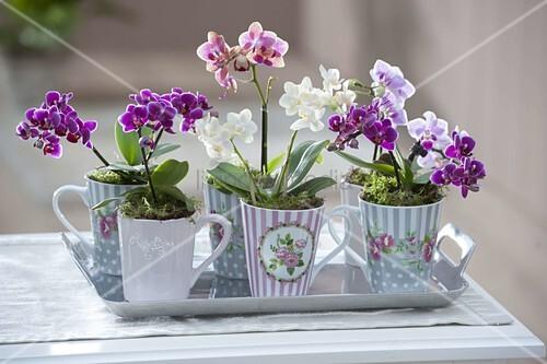 tassen mit mini orchideen phalaenopsis little lady malayenblumen bild kaufen living4media. Black Bedroom Furniture Sets. Home Design Ideas