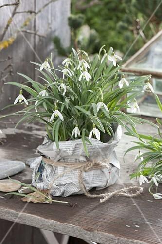 galanthus nivalis schneegl ckchen als geschenk in. Black Bedroom Furniture Sets. Home Design Ideas