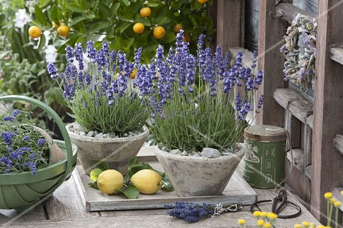 lavendel hidcote blue lavandula angustifolia in konischen toepfen bild kaufen living4media. Black Bedroom Furniture Sets. Home Design Ideas