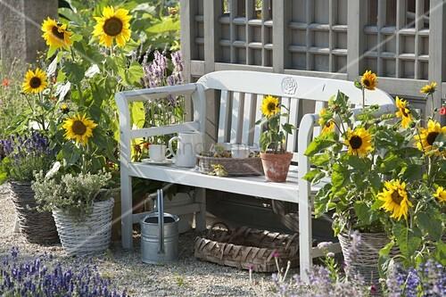 bank zwischen sonnenblumen am gartenhaus bild kaufen. Black Bedroom Furniture Sets. Home Design Ideas