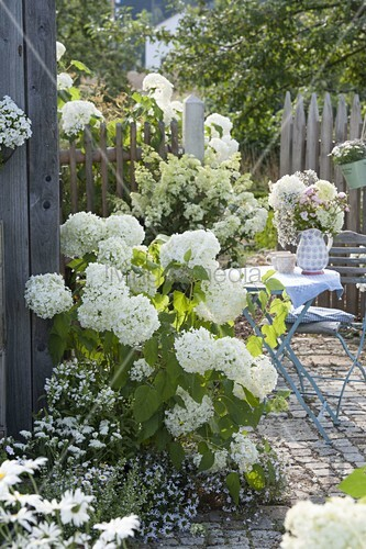 hydrangea arborescens annabelle strauch hortensie. Black Bedroom Furniture Sets. Home Design Ideas