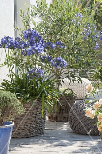 agapanthus schmucklilien und olea europaea. Black Bedroom Furniture Sets. Home Design Ideas