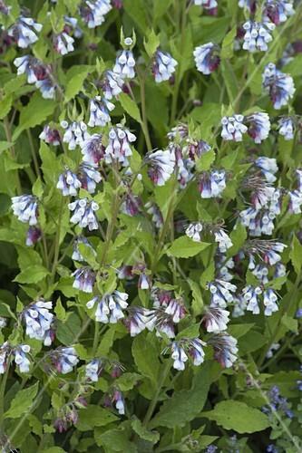 symphytum grandiflorum hidcote blue beinwell bild. Black Bedroom Furniture Sets. Home Design Ideas