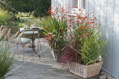 crocosmia x crocosmiiflora red king montbretien mit. Black Bedroom Furniture Sets. Home Design Ideas