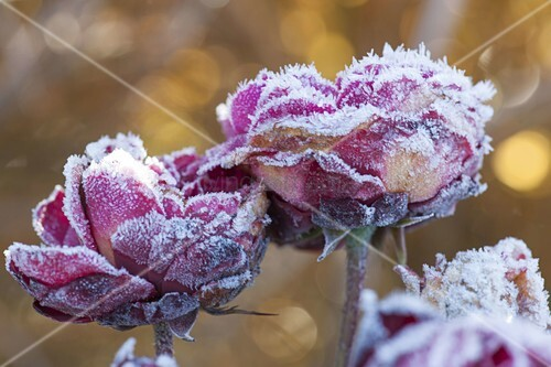 gefrorene rosenblueten rosa rosen bild kaufen living4media. Black Bedroom Furniture Sets. Home Design Ideas
