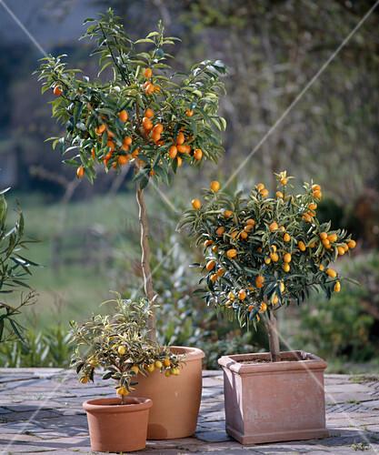 fortunella japonica variegata fortunella japonica kumquat bild kaufen living4media. Black Bedroom Furniture Sets. Home Design Ideas