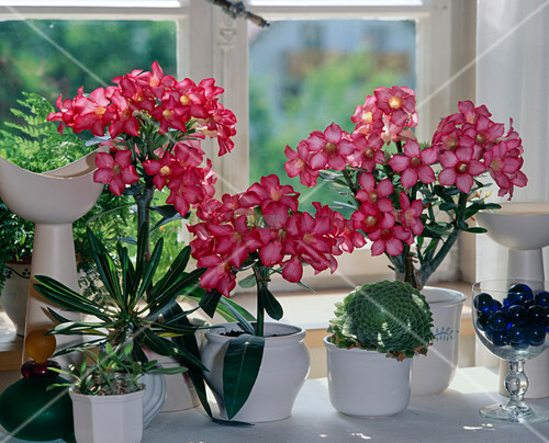 adenium obesum w stenrose bild kaufen living4media. Black Bedroom Furniture Sets. Home Design Ideas
