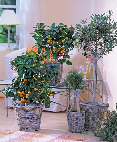 citrus mitis bitterorange olea europaea olivenbaum bild kaufen living4media. Black Bedroom Furniture Sets. Home Design Ideas