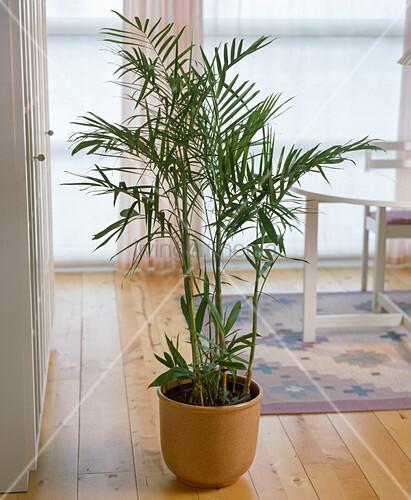 chamaedorea seifrizii bamboo palm bild kaufen. Black Bedroom Furniture Sets. Home Design Ideas