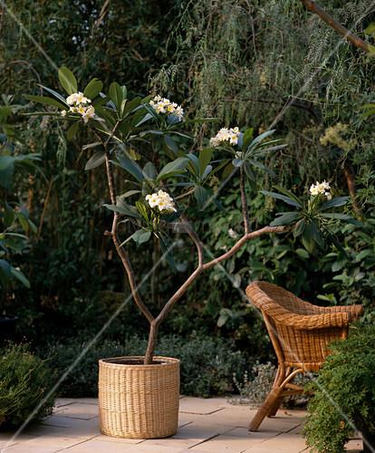 plumeria frangipani bild kaufen living4media. Black Bedroom Furniture Sets. Home Design Ideas