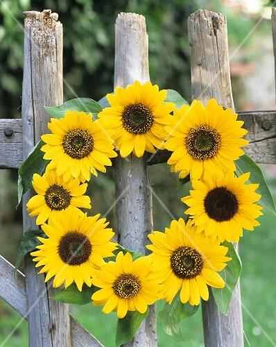 ein kranz aus sonnenblumen am zaun h ngend bild kaufen living4media. Black Bedroom Furniture Sets. Home Design Ideas