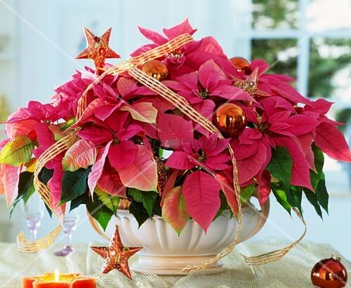 weihnachtsstern der sorte cortez hot pink bild kaufen. Black Bedroom Furniture Sets. Home Design Ideas