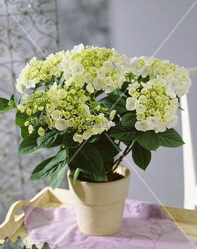 weisse hortensie hydrangea teller white bild kaufen living4media. Black Bedroom Furniture Sets. Home Design Ideas