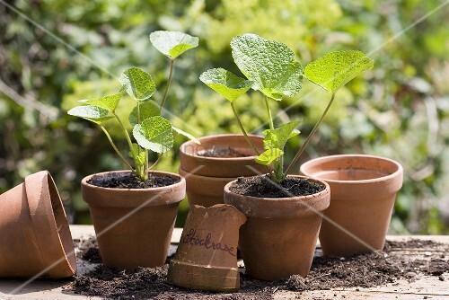 stockrosen jungpflanzen in ton pfen bild kaufen. Black Bedroom Furniture Sets. Home Design Ideas