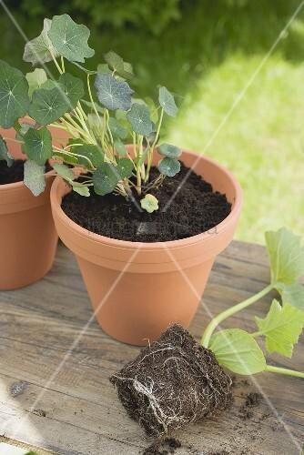 kapuzinerkresse im blumentopf daneben zucchinipflanze bild kaufen living4media. Black Bedroom Furniture Sets. Home Design Ideas