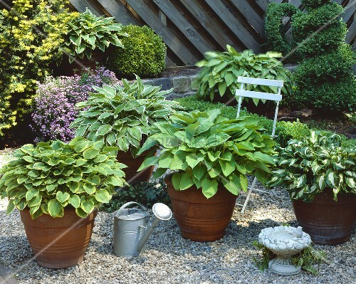 various hostas in terracotta pots bild kaufen living4media. Black Bedroom Furniture Sets. Home Design Ideas