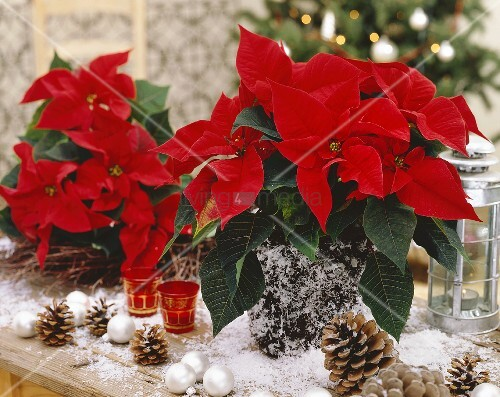 weihnachtliche deko mit weihnachtssternen zapfen kugeln bild kaufen living4media. Black Bedroom Furniture Sets. Home Design Ideas
