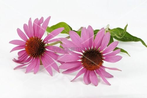 purpur sonnenhut echinacea purpurea bild kaufen. Black Bedroom Furniture Sets. Home Design Ideas