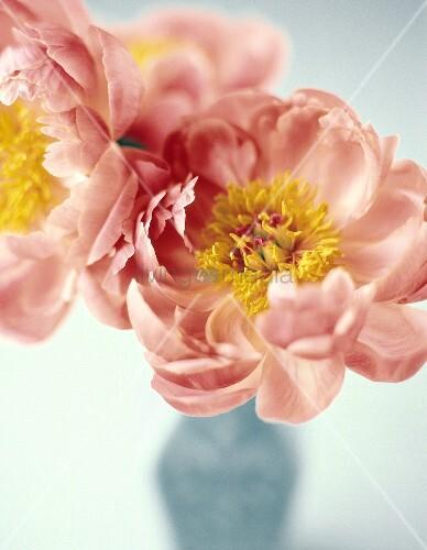 rosa pfingstrosen in blauer vase bild kaufen living4media. Black Bedroom Furniture Sets. Home Design Ideas