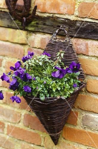 pflanze mit lila bl ten im korb an ziegelwand bild kaufen living4media. Black Bedroom Furniture Sets. Home Design Ideas