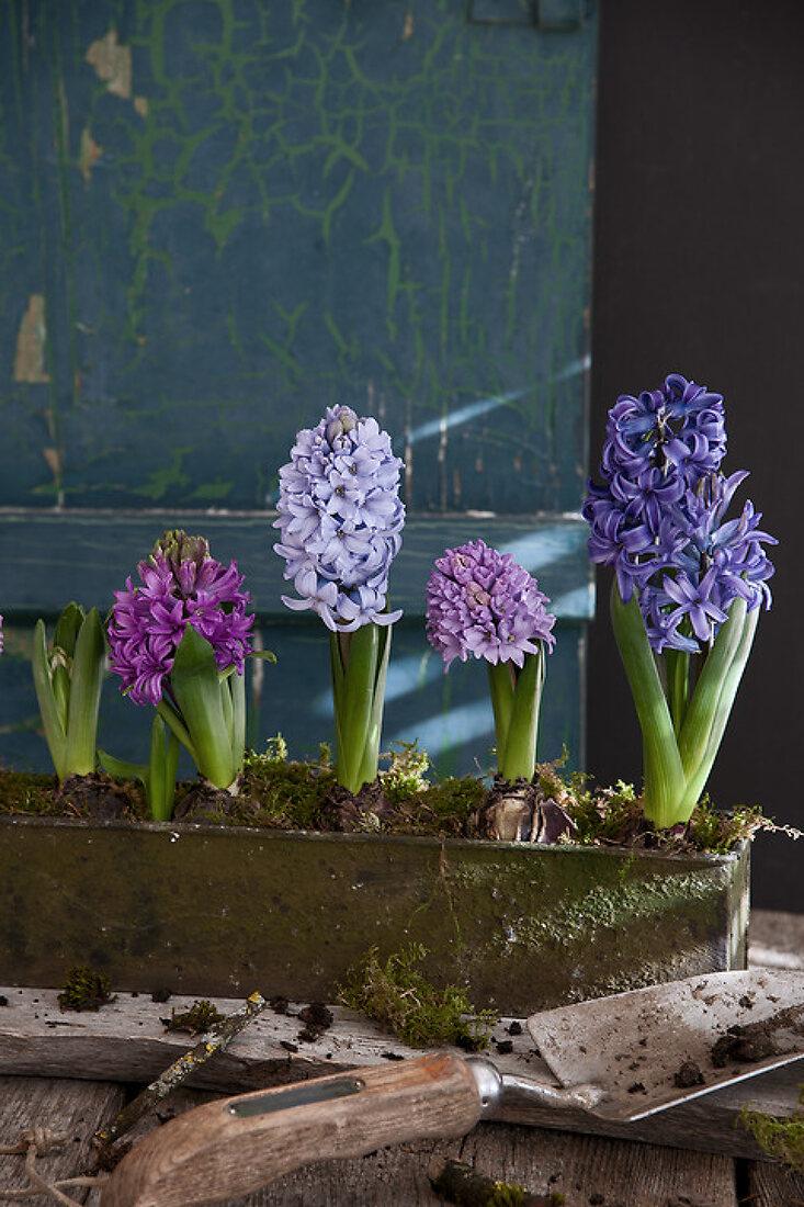 Happy Hyacinths!