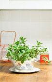 Mini Mint Garden