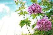 Alliums Forever