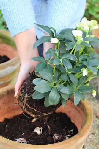 Evergreen Pots