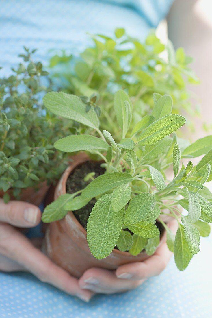 Fresh herbs in flowerpots