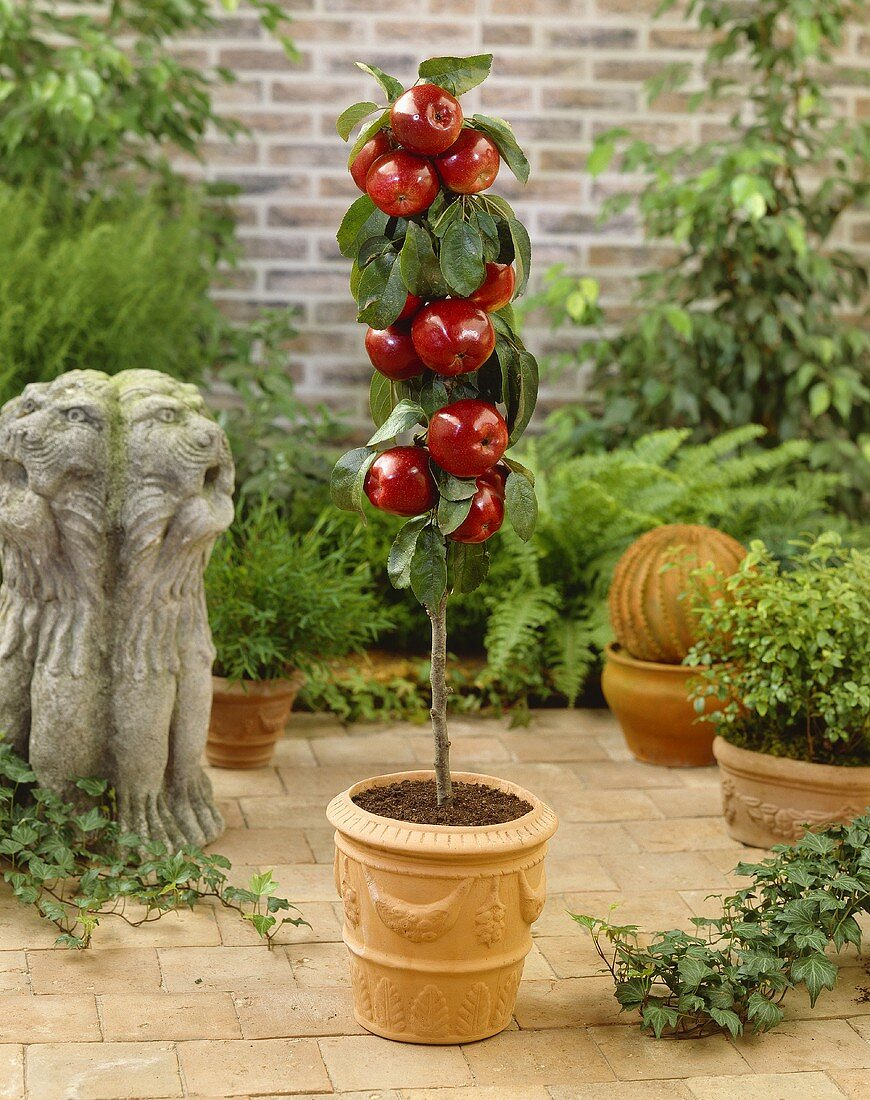 Miniature Apple Tree In Terracotta Pot Buy Image 349261 Living4media