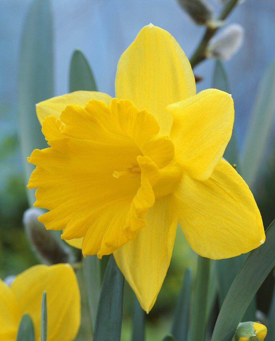 Yellow daffodil, variety Narcissus 'Ballade'