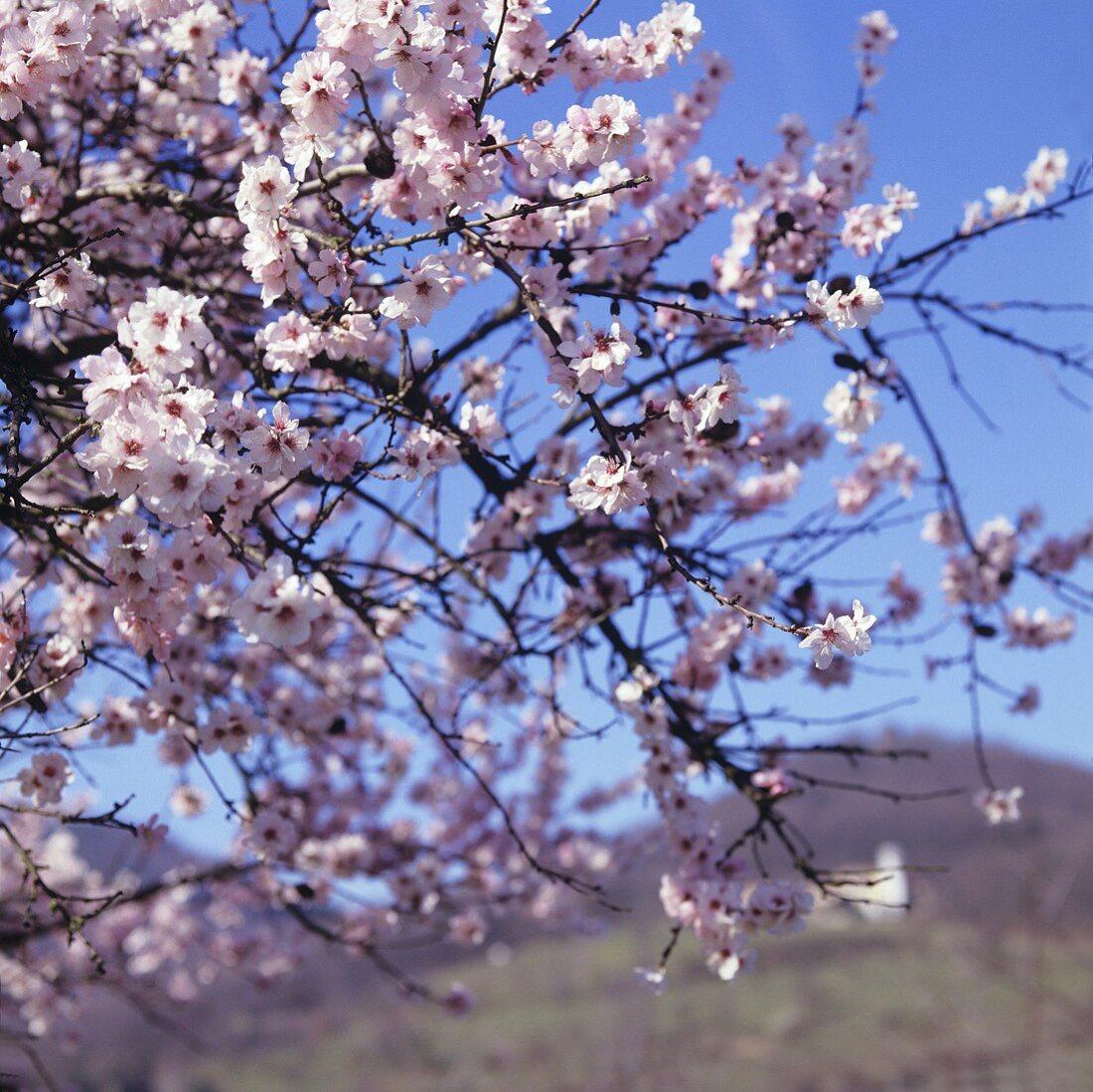 Flowering almond tree, vineyards in background (Palatinate)