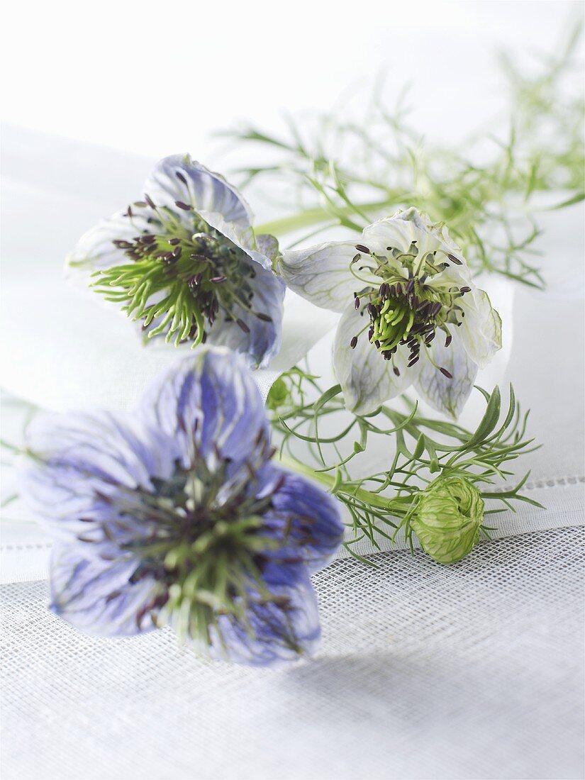 Love-in-a-mist with flowers (Nigella damascena)
