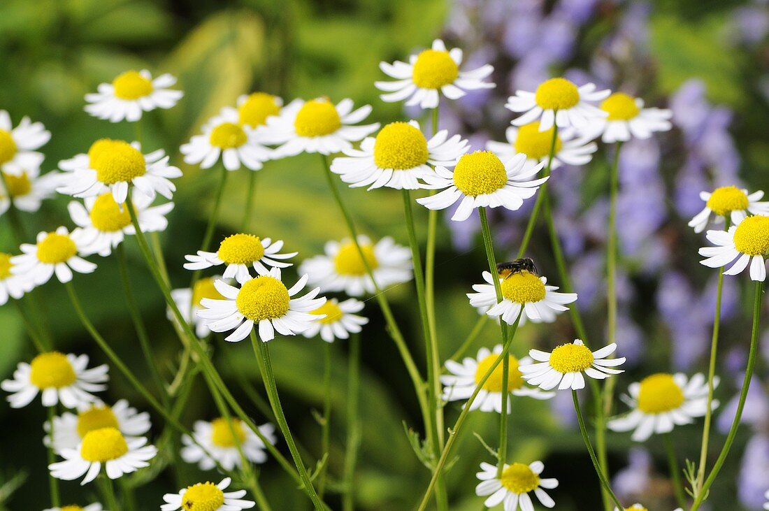 Chamomile and sage in the open air