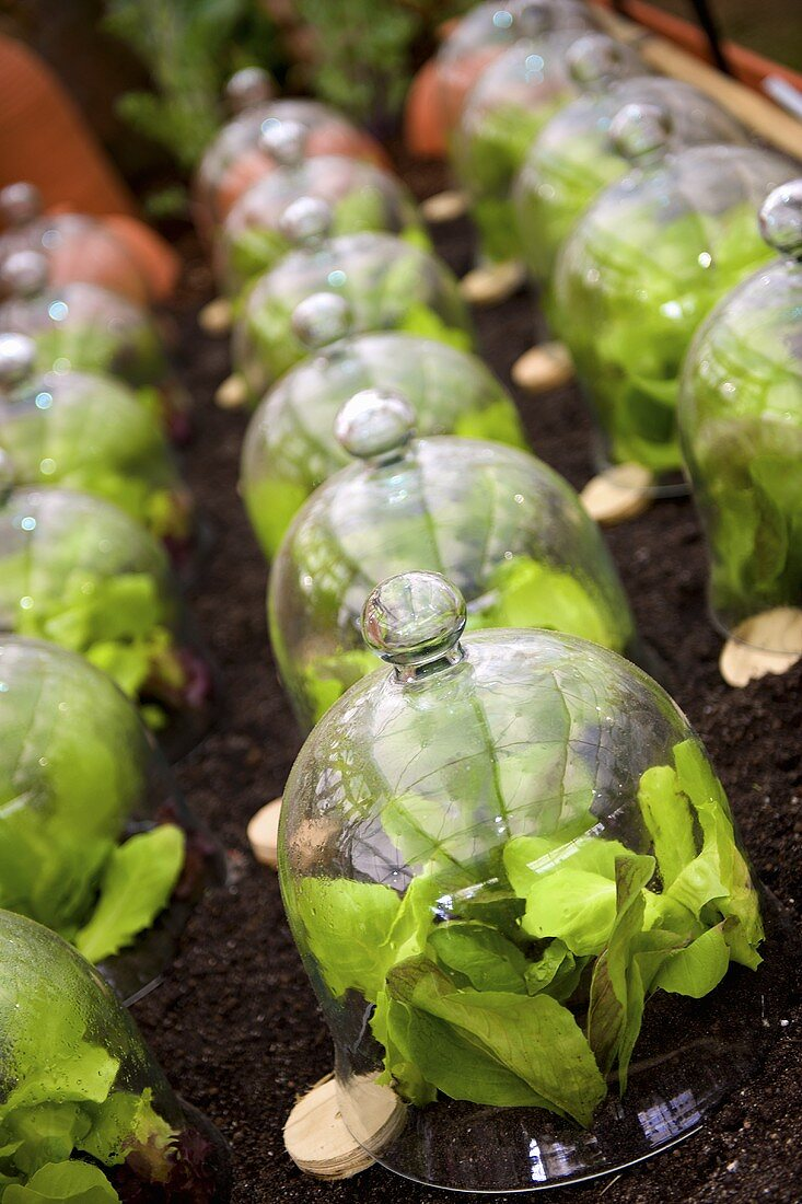 Lettuces under glass cloches in a flower bed