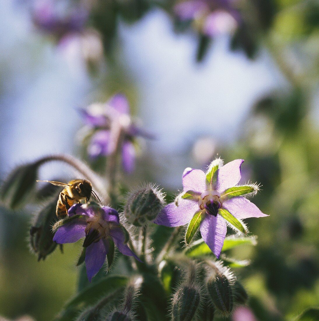Borage flowers with bee in open air