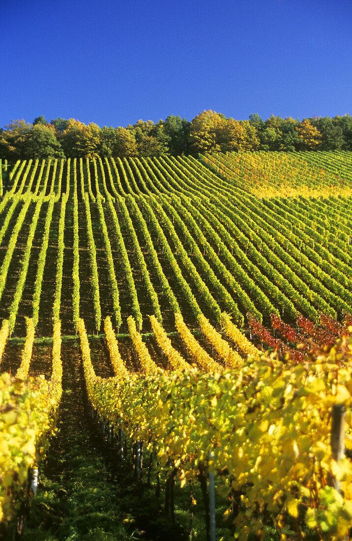 Herbstlicher Weinberg, Deutschland