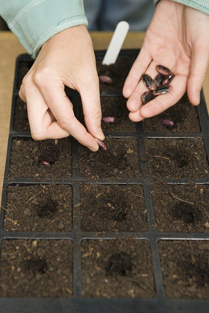 Runner bean seeds being planted