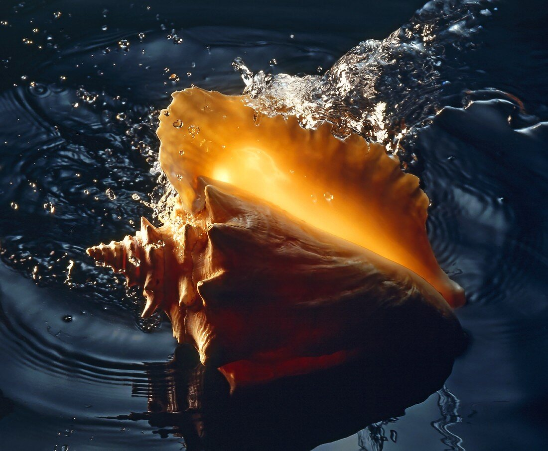 Conch Shell In Water; Splash