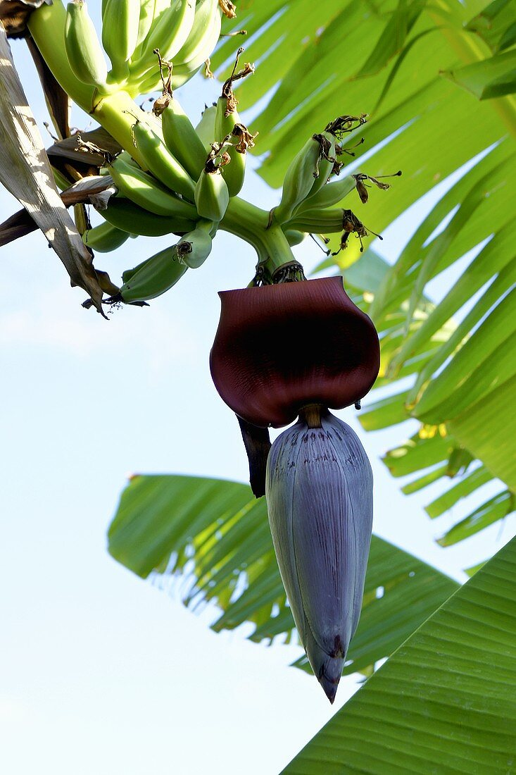 A banana flower and young bananas on a tree